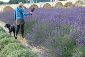 Dog in lavender field