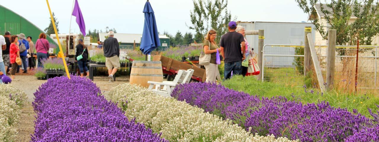Victor S Lavender Farm In Sunny Sequim Washington