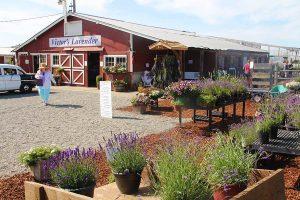 Sequim Farm, Victor's Lavender
