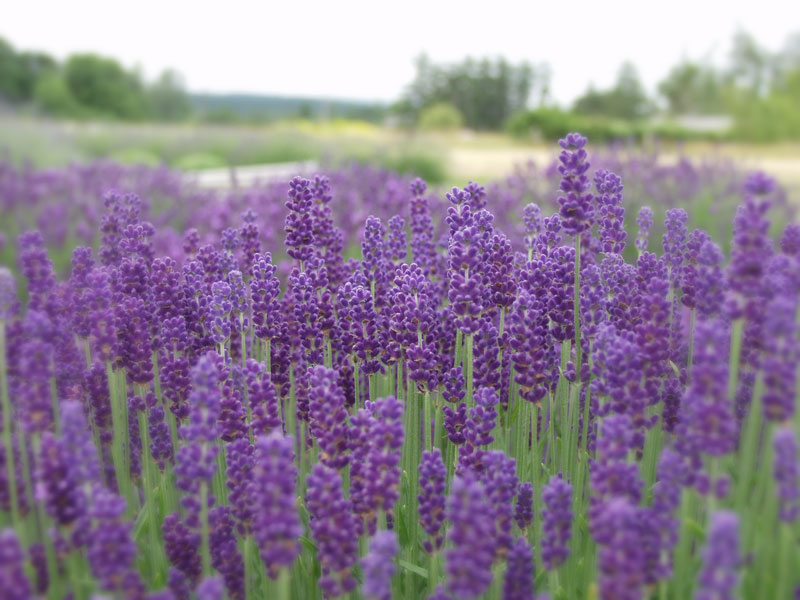 sequim lavender plants lavandula angustifolia victor 39 s. Black Bedroom Furniture Sets. Home Design Ideas