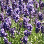 Lodden Blue