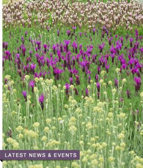 Victor's Lavender