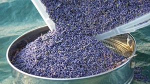 Harvested Lavender