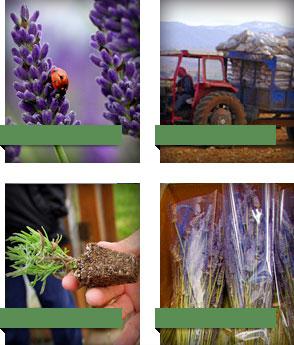 Wholesale Lavender Farm: Victor's Lavender - Sequim