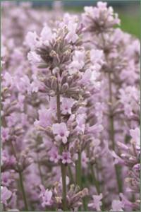 Jean Davis Lavender