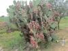 15-5-cactus-fruit