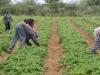 16-harvesting-strawberries