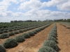 2-the-lavender-project-field