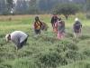3-weeding-the-fields