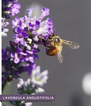 lavdndula-angustifolia-R