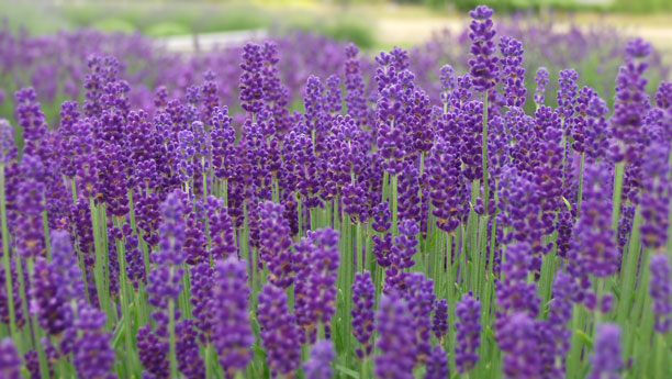 Lavender Plants: Lavandula Angustifolia from Victor's Lavender in ...