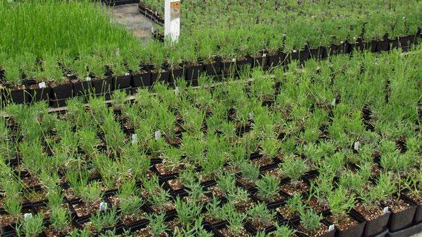 Sequim lavender live plants tools victor 39 s lavender for Plantes on line