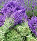 Lavender Harvest